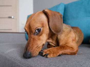 Red Dachshund laying on a couch looking guilty