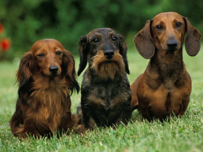 Long haired, wire haired, and smooth haired Dachshund sitting next to each other on the lawn