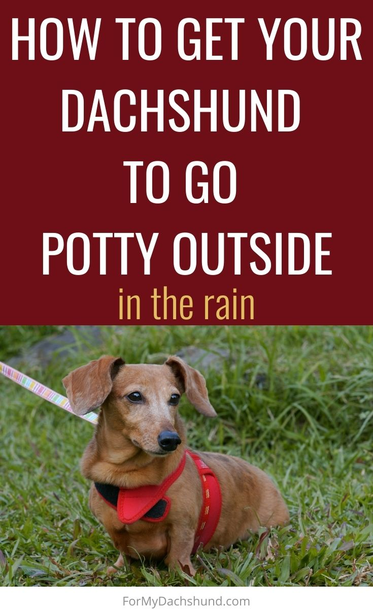 Does your dog not like to go potty outside? Here's how to get your Dachshund to go to the bathroom in the rain.
