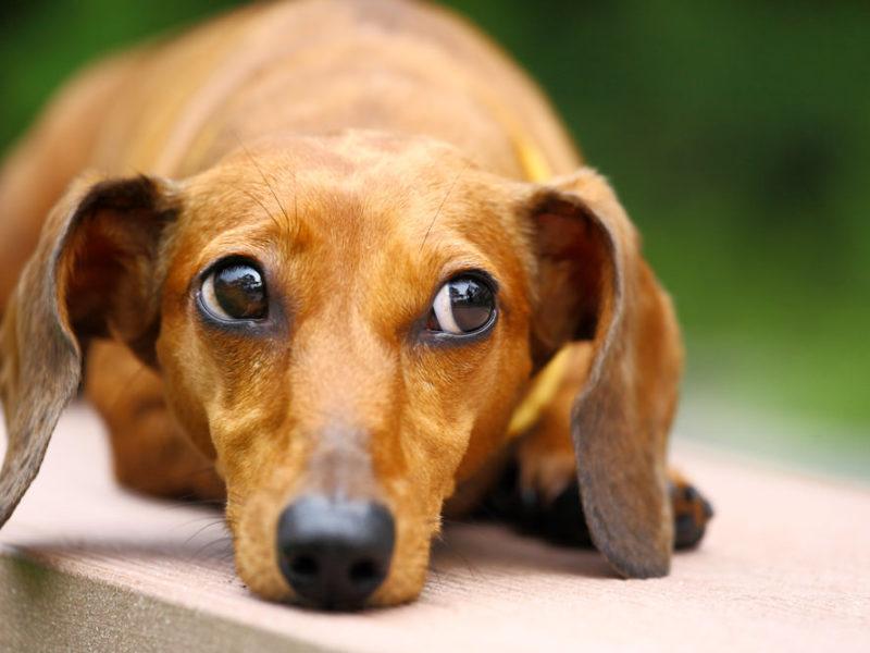 dachshund lying down