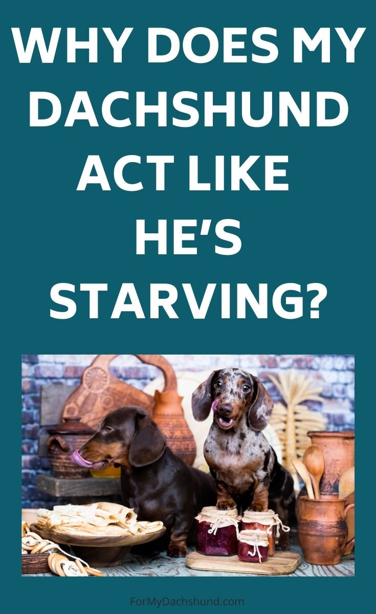 Does your Dachshund act like he's starving? Here's why and what to do about it.