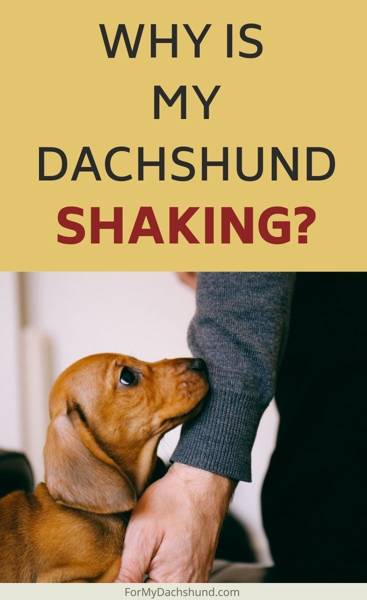 Is your Dachshund shaking all the time? Here are a few reasons why and what you can do about it.