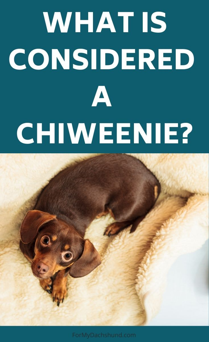 Do you know what's considered a Chiweenie? Here are some facts to know about them.